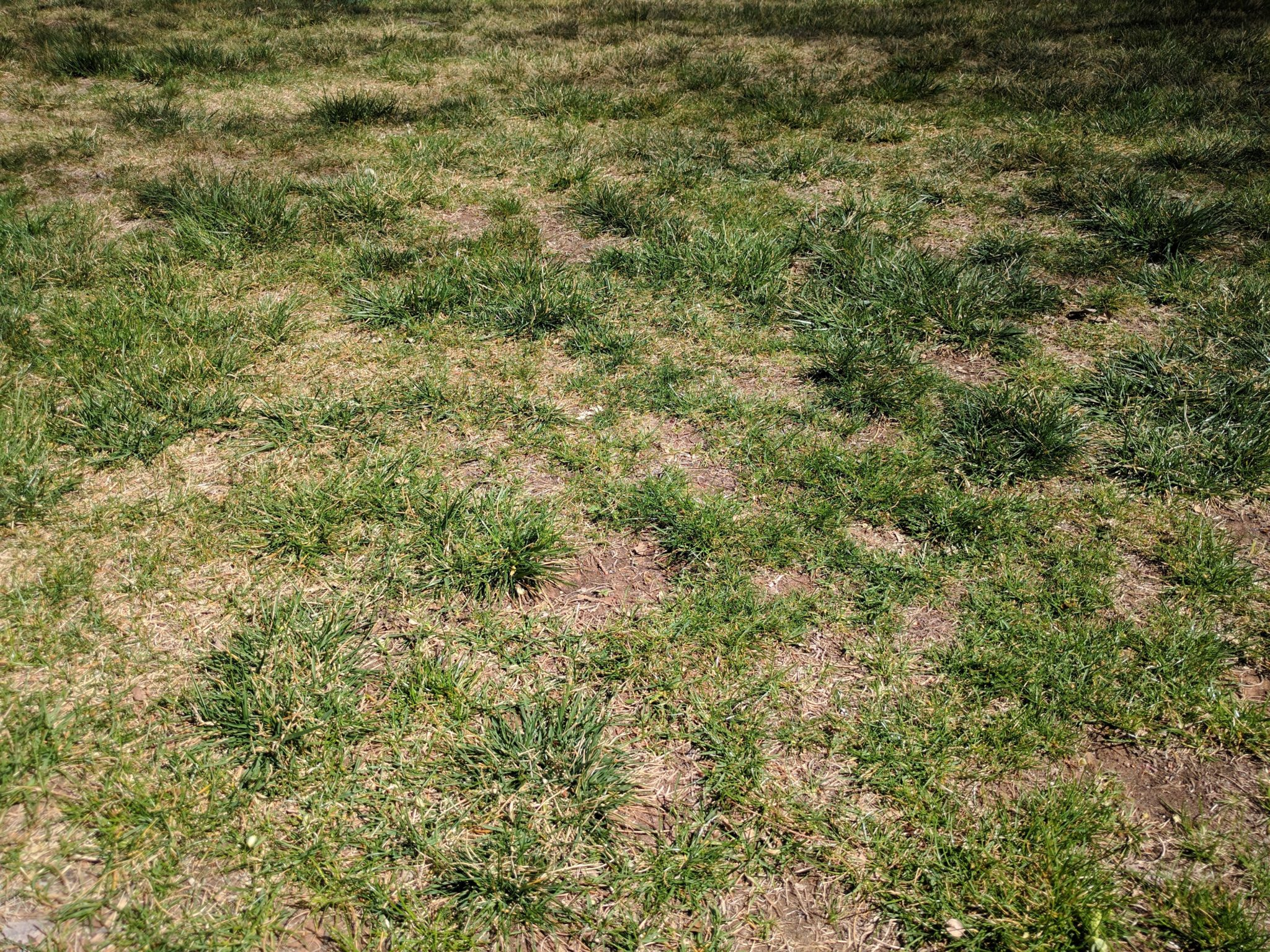overseeding patchy lawn st george